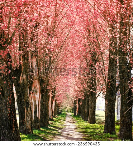Spring nature background with blossom park alley/ The romantic tunnel of pink flower trees