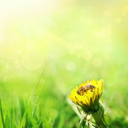 Spring nature background with dandelion and bee