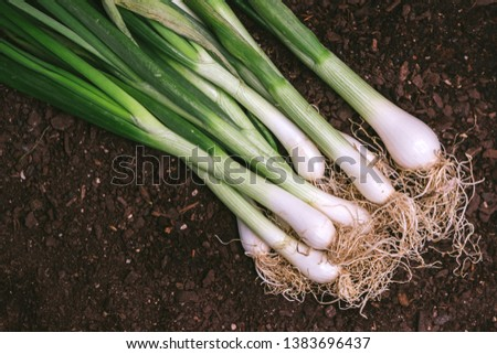 Spring onion or scallion in vegetable garden, organic homegrown produce