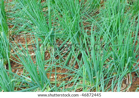 Spring onion Plants Growing In The Farm