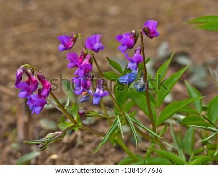 spring pea, spring vetch, spring vetchling, #1384347686
