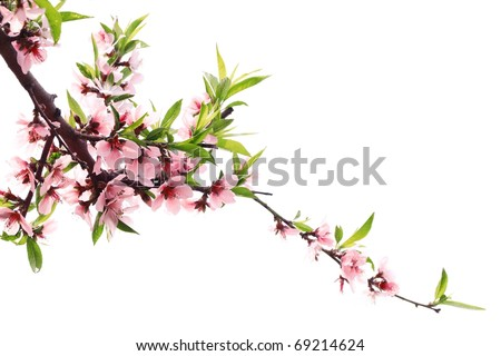 Spring peach blossom isolated on white