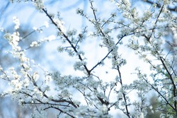 Spring photo with beautiful hawthorn branches on spring blue sky background. Floral frame of many white flowers. Concept of rebirth of nature, explosion of life. Selective focus