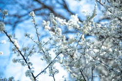 Spring photo with beautiful hawthorn branches on spring blue sky background. Floral frame of many white flowers. Concept of rebirth of nature, explosion of life. Graceful and delicate background.