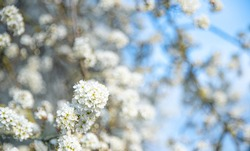 Spring photo with beautiful hawthorn branches on spring blue sky background. Floral frame of many white flowers in the corner. Concept of rebirth of nature, explosion of life