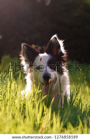 Spring picture of a Welsh Border Collie sitting in the grass.