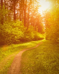 Spring pine forest in sunny weather with bushes with young green leaves glowing in the rays of the sun and a path that goes into the distance. Sunset or sunrise among the trees.