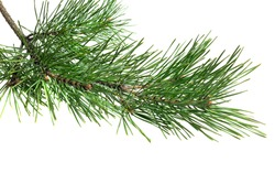 spring pine on a white isolated background
