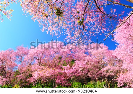 Spring Pink Cherry Blossoms with Blue Sky Background