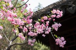Spring, pink Crabapple blossom tree