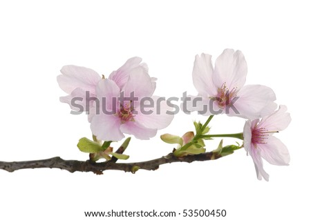 Spring pink flower on white