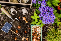 Spring planting bulbs of flowers in the garden. Gardening and planting.