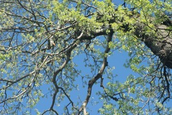 spring poplar  tree branches with leaves and  against blue sky