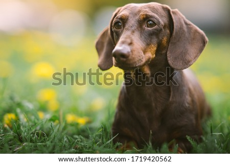 Spring portrait of a brown dachshund with defocused green and yellow background Сток-фото ©