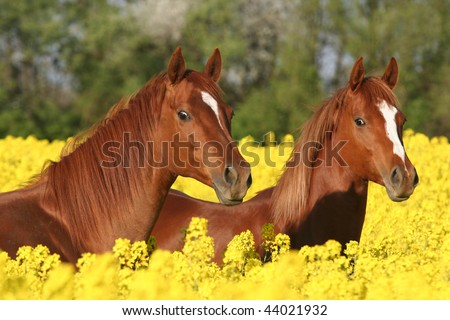 Spring portrait of two sorrel horses on colza field