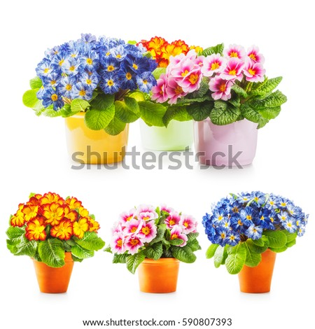 Spring primrose flowers, flowerpot with colorful primula bunch collection isolated on white background #590807393