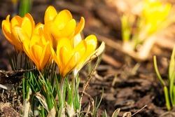 Spring primroses. Blooming crocuses in a green meadow. Crocuses as a symbol of spring. Flowering yellow Crocus. Lila Crocus Iridaceae -The Iris Family
