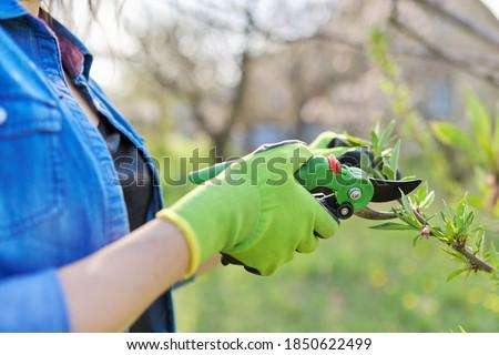 Spring pruning garden, woman gardener with garden scissors in her hands makes pruning of branches on fruit trees, peach tree Stockfoto ©