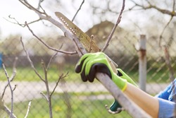 Spring pruning of trees and bushes in garden. Woman gardener in gloves with garden saw cuts branches, forms fruit tree, cleans dry branches. Hobby, gardening, farm concept