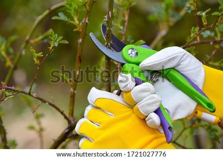 Spring pruning roses in the garden, gardener's hands with secateur Stock photo ©