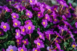 Spring Purple Flowers Perennial primrose or primula in the spring garden. Primroses in spring. The beautiful colors primrose flowers garden.