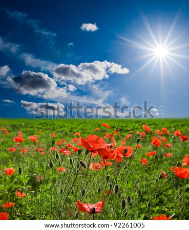 spring red poppy field