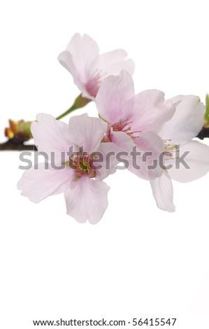 Spring sakura flower on white