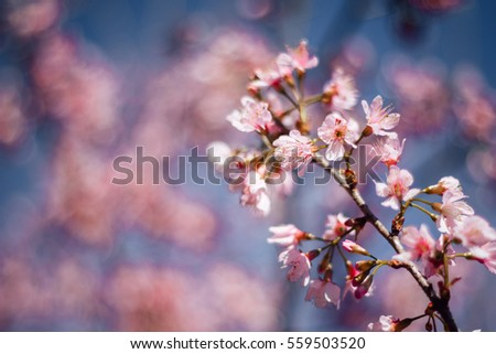 Spring sakura pink flower with sun sky abstract nature background.selective focus. - Shutterstock ID 559503520
