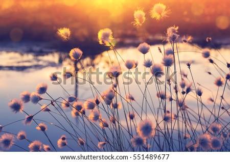 spring scene. plant cotton...