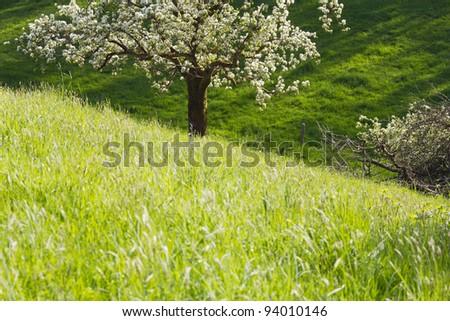 Spring scenery - flowering apple tree and green meadow.