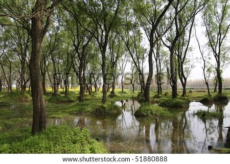spring scenery of poplar grove.