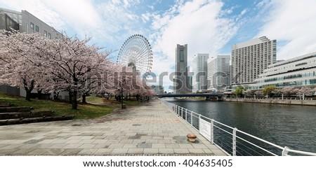 Spring scenery of Yokohama Minatomirai area, with view of high rise skyscrapers in background, a giant Ferris wheel in Cosmo World Amusement Park & beautiful sakura blossoms along a seaside promenade stock photo