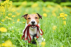 Spring season concept with dog holding leash in mouth inviting to go for walk outdoor