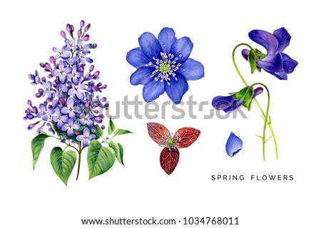 Spring set of violet flowers. Lilac, violets and hepatica. Hand painted garden plants. Watercolor illustrations isolated on white. Highly detailed botanical art.