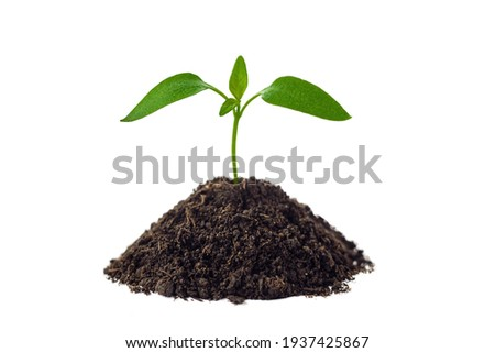 Spring small green sprout grows on the ground. Isolated on a white background. Tomato plant Foto stock ©