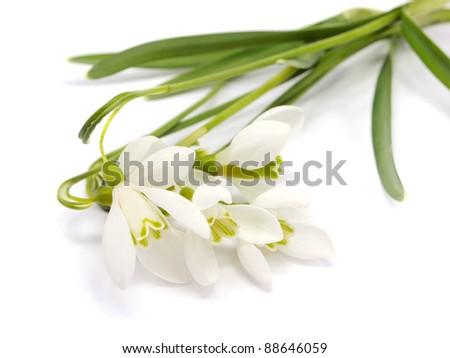 Spring snowdrop flowers bouquet on light background