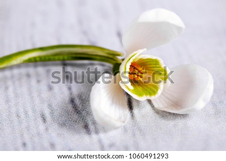 Spring snowdrop flowers isolated on gray background. Macro shot
