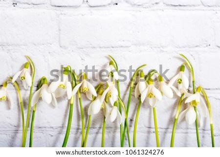Spring snowdrop flowers on white brick background. Macro shot