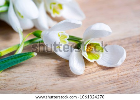 Spring snowdrop flowers on wooden background. Macro shot
