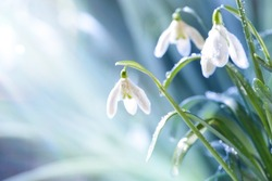 Spring Snowdrop Flowers with Water Drops in Spring Forest on Blue Background of  Sun and Blurred Bokeh Lights. Copy Space for your text