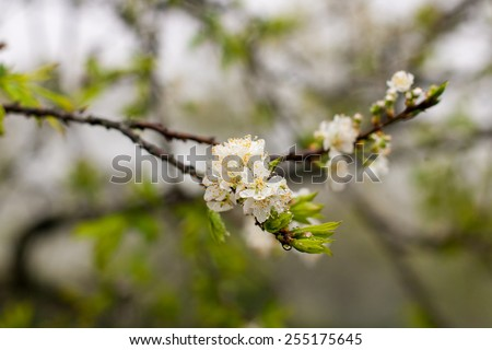 Spring. Soft image of blossoming tree brunch with white flowers. natural floral seasonal background