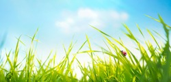 Spring summer background with fresh green tall grass in wind and ladybug against a blue sky in nature, close-up macro. Wide format, copy space.