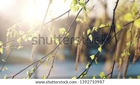 Spring summer natural background. Copy space. Beautiful young birch leaves in the spring in the Golden rays of the sun. Template for design. Template for design #1392710987