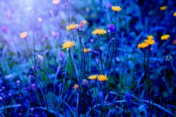 Spring, summer or autumn natural floral background. Bright yellow dandelion-like flowers. The kulbaba flower blooms from June to September.