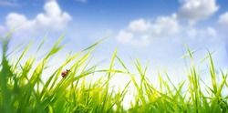 Spring summer scenery with fresh green tall grass in wind and ladybug against a blue sky with white clouds in nature, close-up macro. Ultra wide format.