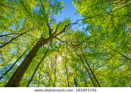 Spring Sun Shining Through Canopy Of Tall Trees. Upper Branches Of Tree. Sunlight Through Green Tree Crown - Low Angle View.