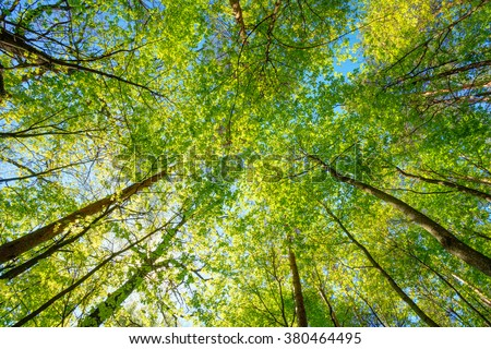 Spring Sun Shining Through Canopy Of Tall Trees Woods. Sunlight In Forest, Summer Nature. Upper Branches Of Trees Background. Nobody. Environment concept.