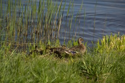 Spring. The birth of the new in nature. It's a sunny day.duck with ducklings going to the water. Family of ducks. Image with selective focus.