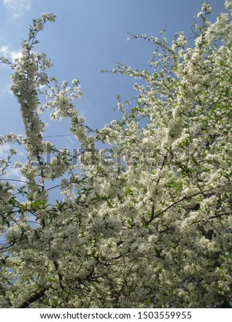 Spring. The gardens are blooming. Blooming trees. Cherries, pears bloom. #1503559955