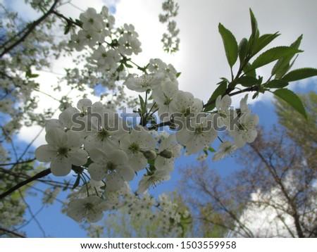 Spring. The gardens are blooming. Blooming trees. Cherries, pears bloom. #1503559958